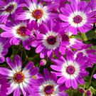 Senetti cinerarias are a new form of an old favourite