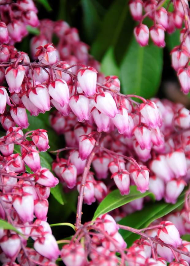 Pieris 'Katsura' opens with red buds and pretty pale pink flowers