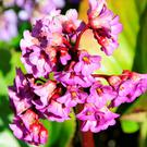 Bergenia is grown for its handsome leaves and very pretty flowers