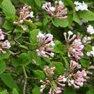 One of the best plants for scent in spring is viburnum