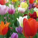 Tulips - a popular addition to any garden.