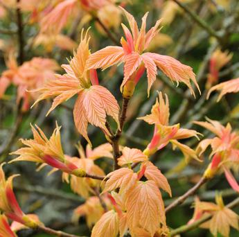 Shrimp-pink young foliage of Acer pseudoplatanus 'Brilliantissimum'