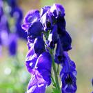 Monkshood is late-flowering