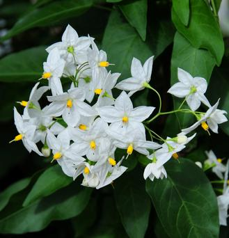 Easy to grow and propagate, the potato vine is a ringer for jasmine