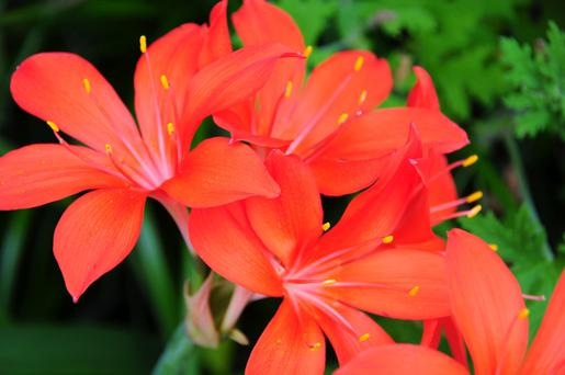 The flowering period for the fire lily is a mere three weeks long