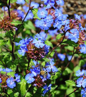 Ceratostigma's brilliant blue blooms make a wonderful contrast with autumn foliage