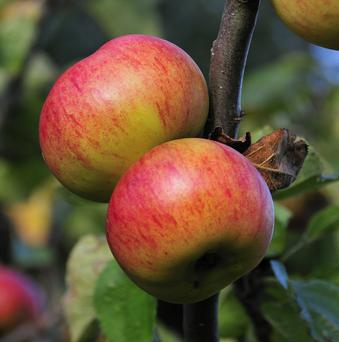 Rosy-tinted Bramley Seedlings stay on the tree until late October and into November don't soften as quickly as other varieties and can be stored well.