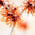 Winter blooming Witch Hazel 'Jelena'.