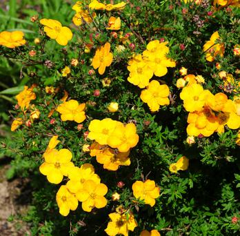 Potentilla comes in yellow, white, orange and red flowers, making it a good garden filler
