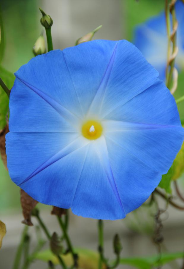 Morning glory is a tropical creeper that needs sunshine and warmth to thrive.
