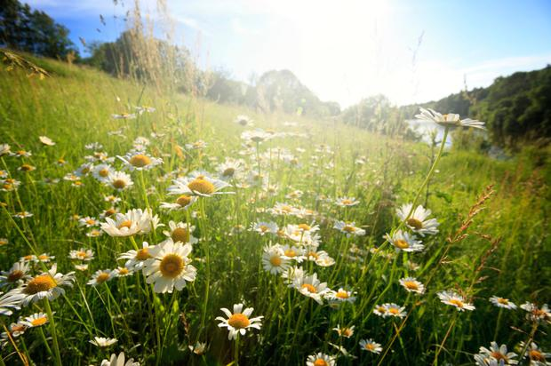 More biodiversity: A wildflower lawn is a nature-lover's alternative to pristine green