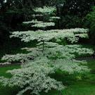 Hardy: The wedding cake dogwood likes good, rich soil