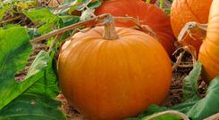 'Our annual pumpkin production sits somewhere in the tens of thousands, but just ask yourself how many pumpkin soups, stews or pies you've consumed this October...' (stock image)