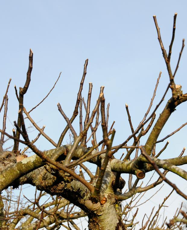 SHORT CUTS: Apple trees need a supply of vigorous branches