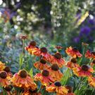 Burnt orange heleniums in TJ Maher's garden