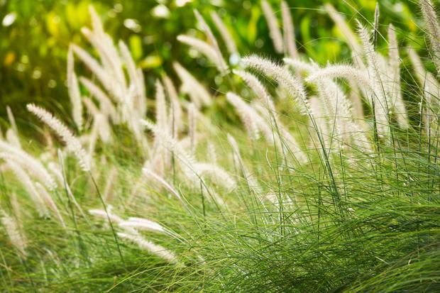 Fountain grass: Pennisetum