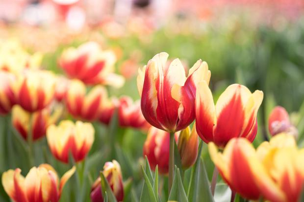 April and May will be brightened by the appearance of tulips