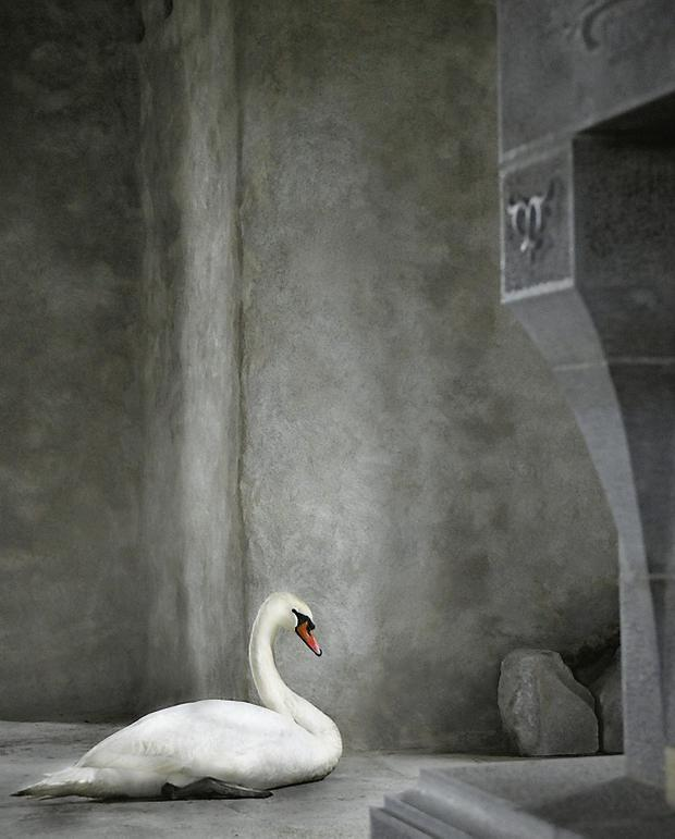 Swan in the great hall