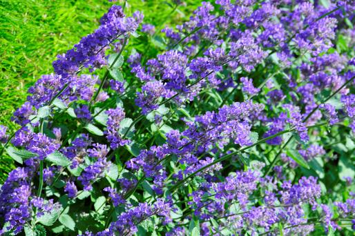 Catmint is loved by cats and humans alike