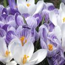 All kinds of everything — crocuses are multi-purpose little bloomers