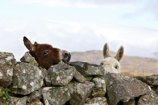 Traditional Connemara stone walls and some curious onlookers