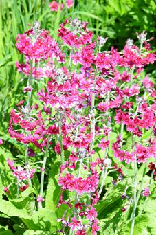 Moisture-loving Candelabra primula likes to self-sow in drifts