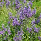 Plant camassia, a cousin of the bluebell, in clumps or in a wildflower meadow