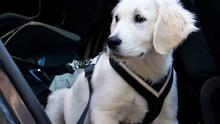 A dog's safety is enhanced by a harness