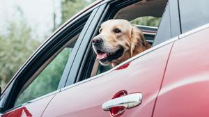 Be a proper dog lover and restrain your pet while they're in the car