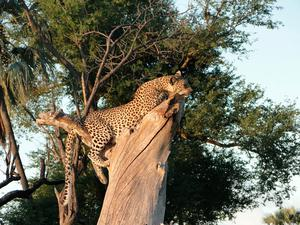 A leopard, photographed by Rachel in Botswana