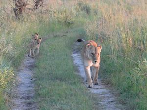 Lions on the move during Rachel's safari in Botswana