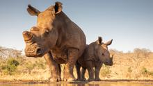 A mother rhino and calf. PA Photo/iStock.