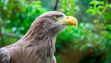 A white tailed eagle.