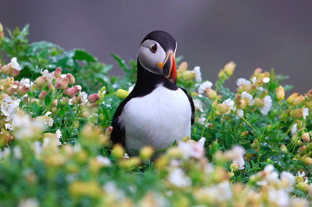 Skellig Michael is home to thousands of Atlantic puffins, at least from March to September. These colourful, enigmatic seabirds spend their summers on the island, breeding and fattening their chicks on locally available food which often comprises of high calorie sand-eel and sprat. Photo: Valerie O'Sullivan