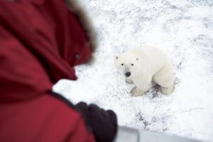 Polar bear watching in Manitoba. Photo: Canada Tourism Commission