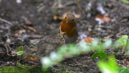 A robin feeding its chick in the back garden. Photo: Pól Ó Conghaile