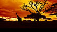 Giraffes silhouetted against the Zulu sunset in South Africa