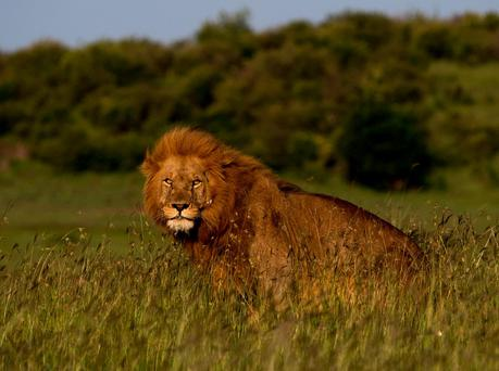 A lion in Kenya's Masai Mara Conservancies. Photo: PA Photo/Sarah Marshall.