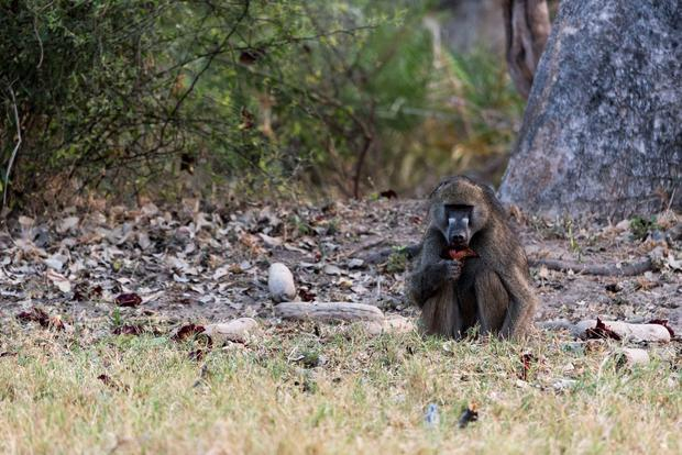 A Baboon eating flower from a sausage tree at Great Plains Duba Expedition Camp, Botswana. PA Photo/Sarah Marshall.