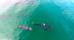 Basking sharks swimming in Caliso Bay, Co. Waterford. Photo: James McCarthy