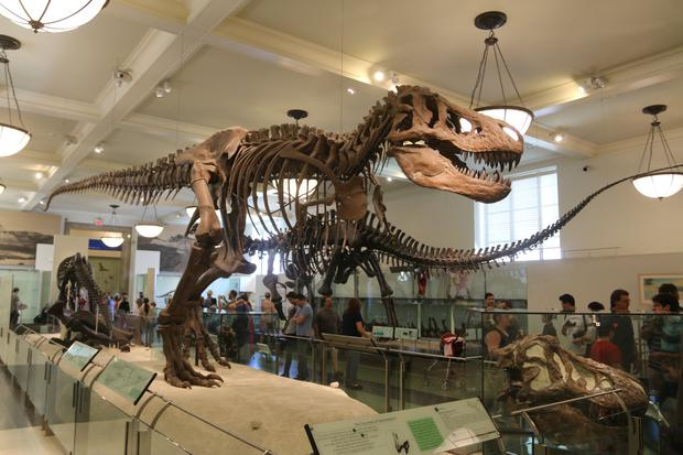 NEW YORK: Fossils from a Tyrannosaurus rex at the American Museum of Natural History in New York City. Photo by Waring Abbott/Getty Images
