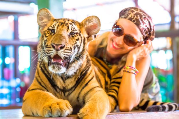 A woman embraces a tiger in Thailand. Stock Photo: Deposit