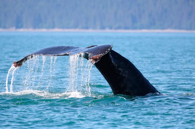 The tail of a humpback whale in Auke Bay, Alaska. Photo: Getty/Maureen P. Sullivan