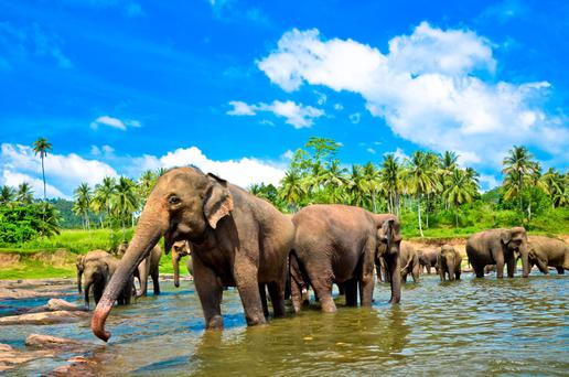 There are estimated to be more than 5,000 wild elephants wandering around the island