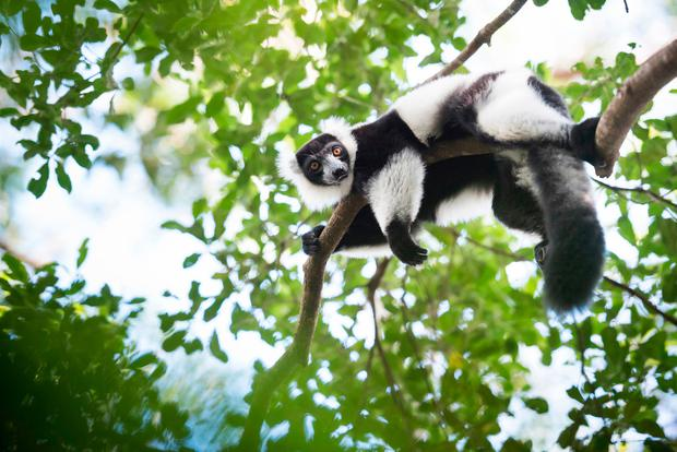 Black and White Ruffed Lemur (Varecia variegata), endemic to Madagascar, seen on Lemur Island, Andasibe. Photo: www.matthewwilliams-ellis.com.
