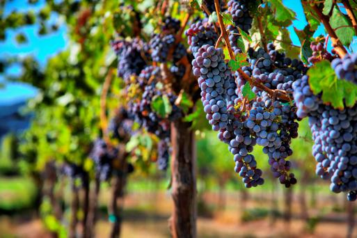Merlot grapes in a vineyard. Stock picture