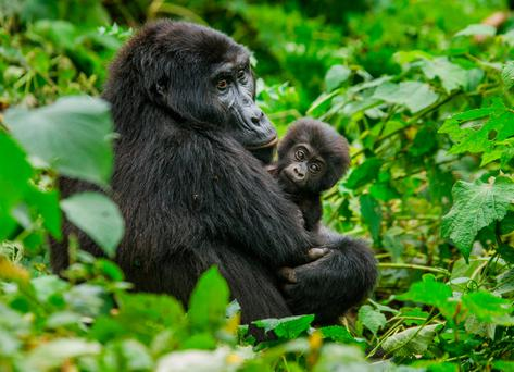 Mountain gorillas in Rwanda. Photo: Deposit