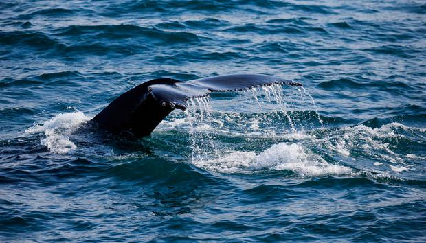 Whale Watch West Cork - Humpback whale fluke.jpg