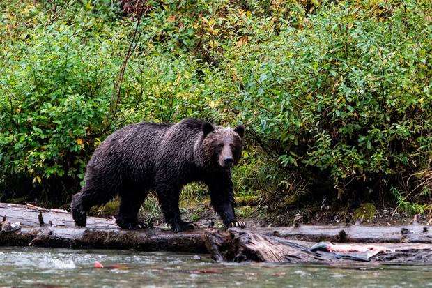 A grizzly bear hunting for salmon on the Mitchell River in the Cariboo Mountains, British Columbia, Canada. PA Photo/Sarah Marshall.