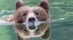 A Grizzly bear (Ursus Arctos Horribilis) swimming across the river, Khutzymateen Bear Sanctuary, near Prince Rupert British Columbia, Canada. Photo: Getty